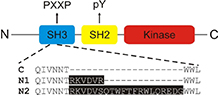 Neuronal splicing of C-Src kinase yields N1- and N2-Src.