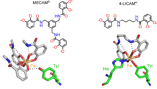 Fe(III) (orange) coordinated to the siderophore mimics MECAM6- and 4-LICAM4- (coloured by atom type) with key amino acid residues in the binding pocket of CeuE shown (green cylinders as carbon atoms).