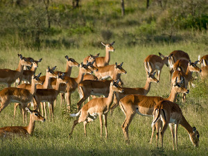 Impala herd (by wwarby on flickr)