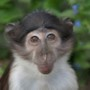 Mangabey by Joanne Iredale thumb
