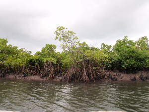 Mangrove area in Zanzibar (photo P. Punwong)