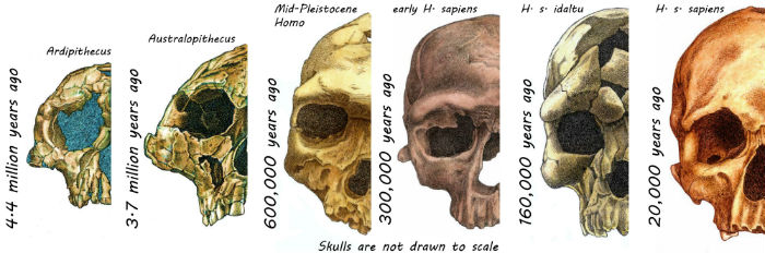Skulls of hominins over the last 4.4 million years. Image credit: Rodrigo Lacruz.
