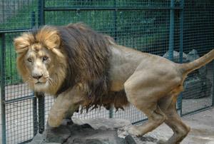 Addis Ababa lion