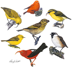 Illustrated is a juvenile Laysan finch (centre), and clockwise from the top: Hawaii akepa, Maui parrotbill, poouli, iiwi, Maui alauahio, and akiapolaau. Artwork © H. Douglas Pratt.