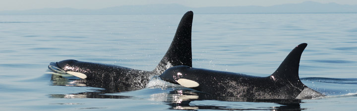Post reproductive mother and son. Image courtesy of David Ellifrit Centre for Whale Research