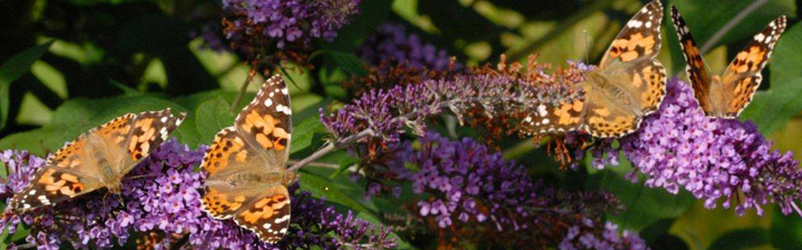 Painted Lady butterflies. Photo: Jim Asher, Butterfly Conservation