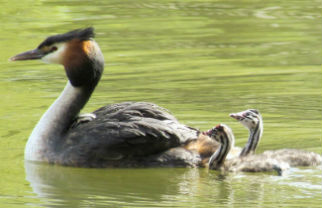 Great crested grebes and their chicks can be seen on the Heslington West campus. They are excellent swimmers and divers, and pursue their fish prey underwater. Image by www.duckoftheday.co.uk