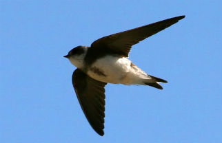Sand martin: Sand martins have started to nest on the Heslington East campus, encouraged by the creation of special sand martin banks made from vertical earth which is soft enough for burrowing. Image by Ken Billington (http://kenbillington.ch/)