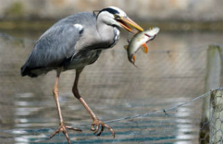 Grey herons can be seen at any time on campus as they do not migrate. They are often seen standing motionless at the water's edge, waiting patiently for the perfect moment to stab at their prey with their dagger-like beaks. Image by Lindsey Bowes