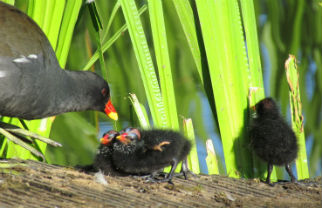 Moorhens are blackish with a red and yellow beak and long, green legs. The medium-sized water birds are sometimes called marsh hens or river chickens. They are thriving and breeding on the University campus. Image by www.duckoftheday.co.uk