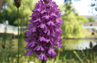 A hardy perennial herbaceous plant, the pyramidal orchid grows to 10–25cm in height, with the flowering period extending from April through July. The flowers are pollinated by butterflies and moths. Image by Gordon Eastham
