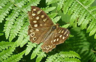Speckled wood butterflies are brown with pale yellow or cream spots and dark upperwing eyespots. They are found on the borders of woodland and at York have become a focus of Department of Biology research into climate change and habitat fragmentation. The butterfly's distribution has shifted northwards due to climate change, so it is now more commonly seen in our region. Image by Rachel Pateman