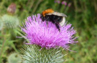 First seen in the UK in 2000, biological records have shown that the tree bumblebee has shifted its distribution rapidly northwards in recent years. Look out for them from April through July. Queens, workers and males all tend to have black heads, tawny or darker gingery brown thorax, and a blackish abdomen with a white tail. Image by Rachel Pateman