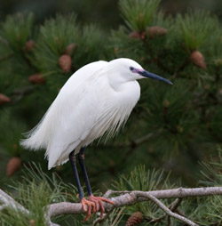 Little Egret in breeding plumage. Credit: Alexander Hiley