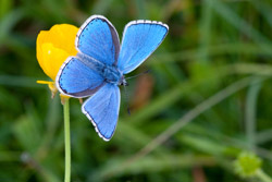 Adonis blue and the chalkhill blue butterfly use the same host plant, Horseshoe Vetch, and are found in similar habitats in the south of England. However the adonis blue has shown positive abundance changes and has expanded its distribution area, while the chalkhill blue has shown a negative abundance trend and has not expanded its range. Credit: Peter Eeles/Butterfly Conservation