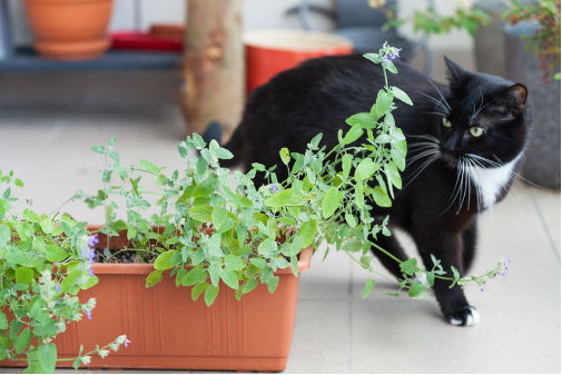Nepetalactones are the chemicals in catnip that send cats 'crazy'.