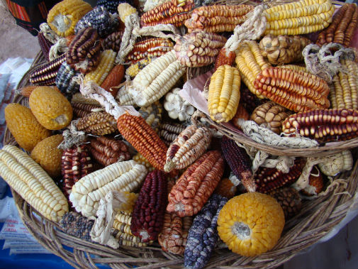 The final stages of maize's domestication happened more than once. Photo credit: Smithsonian