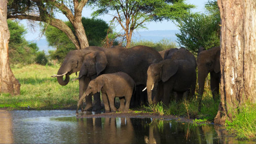 Despite poaching being in decline, elephants are still at risk
