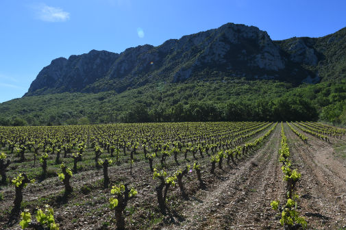 A vineyard by Pic Saint Loup Mountain in southern France