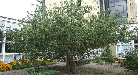 Newton's Apple Tree growing in the courtyard at the Physics Department, University of York.