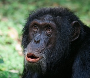 Social behaviour and communication in chimpanzees