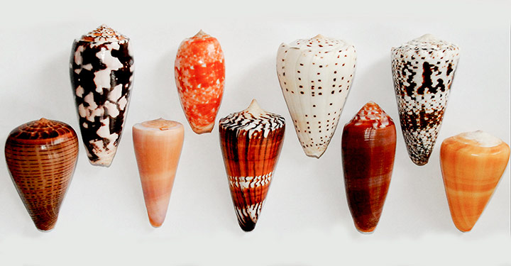 Common species of cone shells which occur across the Indo-Pacific, the Philippines and South China Sea. Top row left to right: C. striatus, C. bullatus, C. eburneus, C. imperialis. Bottom Row: C. figulinus, C. kintoki, C. generalis, C. circumcisus, C. quercinus.