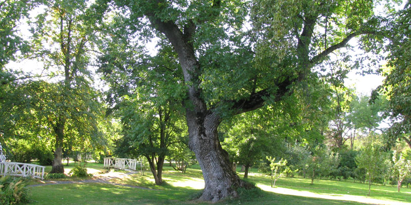 Ash tree in a park
