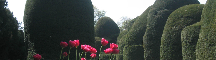Tulips and yews