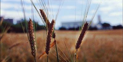 Wheat. Credit: dun_deagh / flickr (CC BY-SA 2.0)